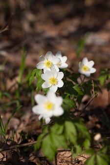 A primeira floração na floresta, lindas flores silvestres crescendo na floresta