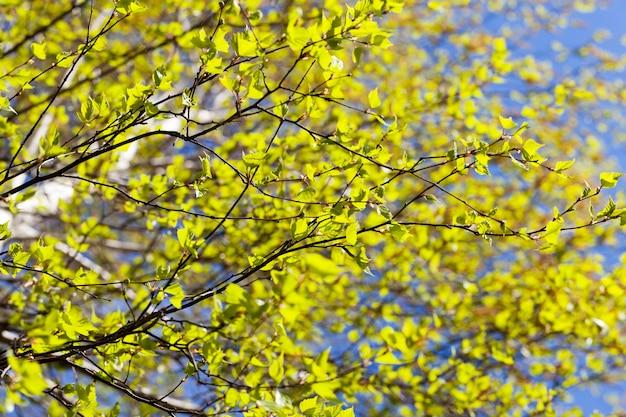 A primeira folhagem verde de uma verdadeira bétula na primavera do ano