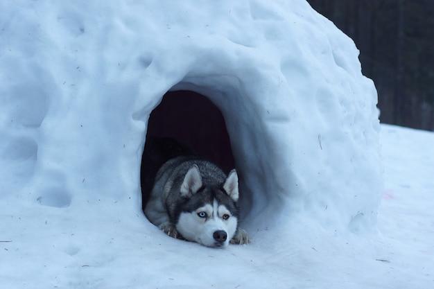 A raça de cães husky sai de uma caverna de neve, mente e guarda a entrada.