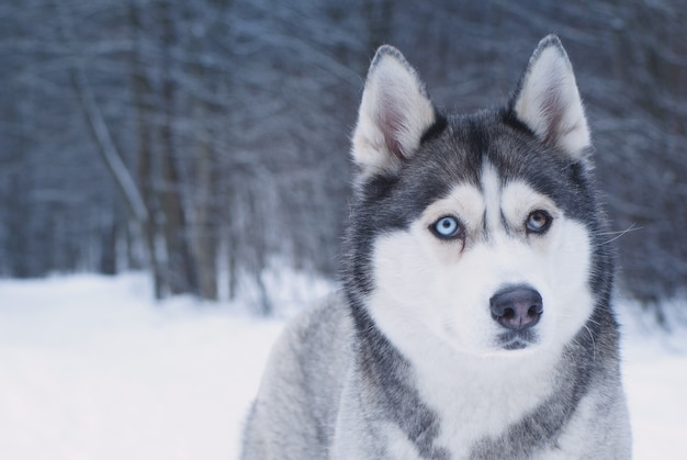 A raça do cão husky com olhos de cores diferentes está no parque de inverno.