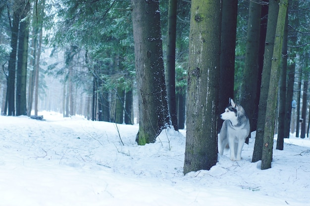 A raça do cão husky fica na neve na floresta no inverno, entre grandes troncos de abetos.