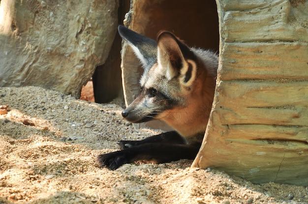 A raposa de orelhas de morcego