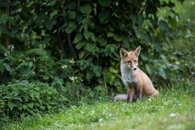 A raposa vermelha na natureza selvagem, senta-se na borda da floresta.