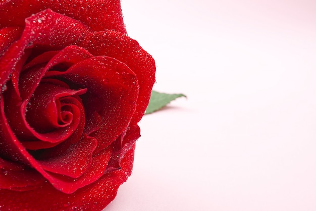 A rosa do vermelho com gotas da água fecha-se acima. fotografia macro de rosa linda isolada em rosa para espaço de cópia