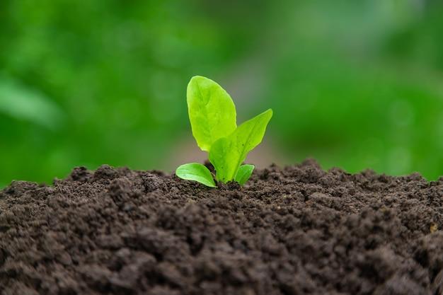 A salada cresce no jardim