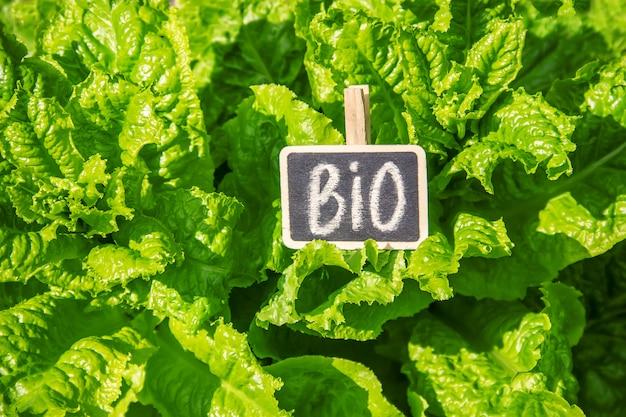 A salada orgânica caseiro cresce no jardim. foco seletivo.
