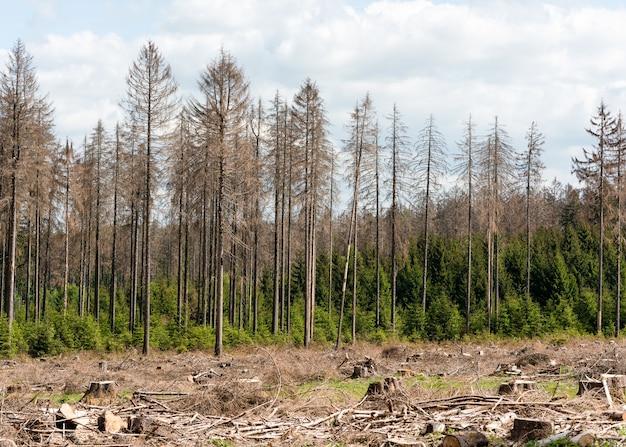 A seca, a quebra do vento e a infestação de besouros causaram extensas mortes em florestas de pinheiros na floresta de teutoburg