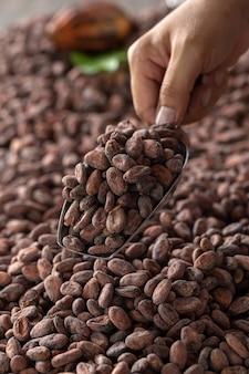 A seleção de sementes de cacau completas deve ser seca antes em sacos