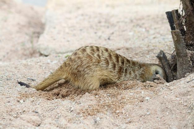 A suricata suricatta ou meerkat cavam na areia