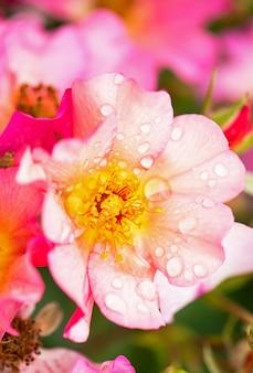A taça de rosa parque cresce no jardim no verão