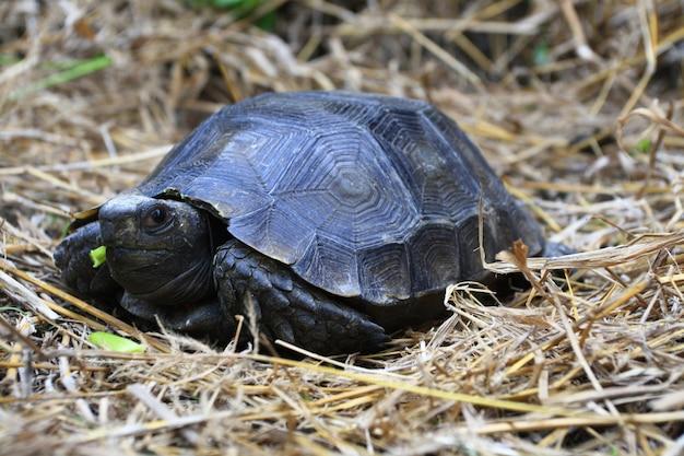 A tartaruga asiática da floresta manouria emys