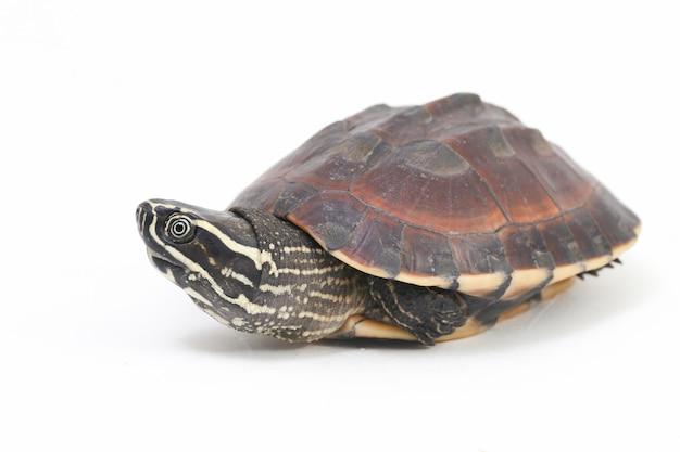 A tartaruga comedora de caracol malaia no espaço em branco