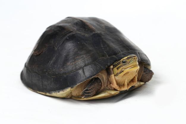 A tartaruga de caixa asiática de amboina isolada no branco