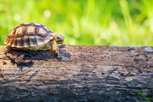 A tartaruga sukata caminha sobre uma árvore caída.