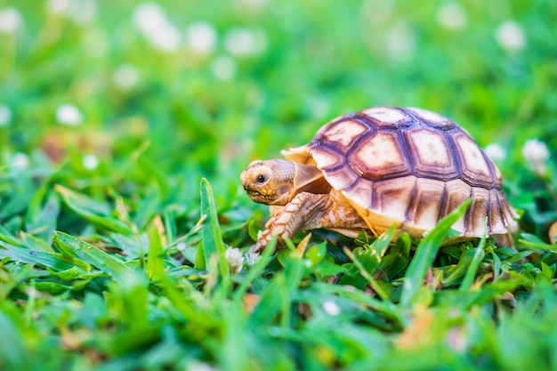 A tartaruga suzuka está andando na grama.