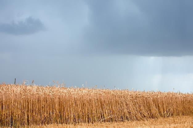 A tempestade ameaça destruir o trigo semeado no campo