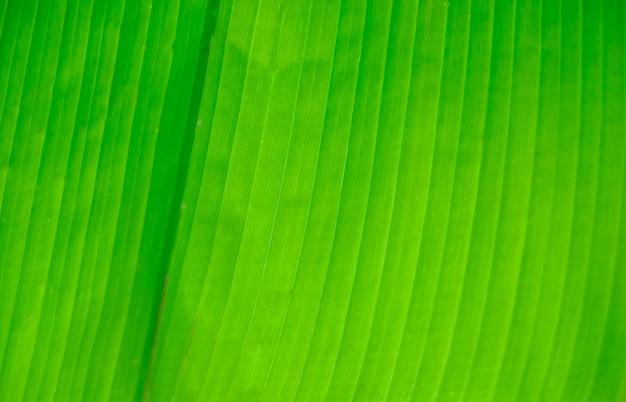 A textura da folha de palmeira. a textura da folha de uma árvore tropical.
