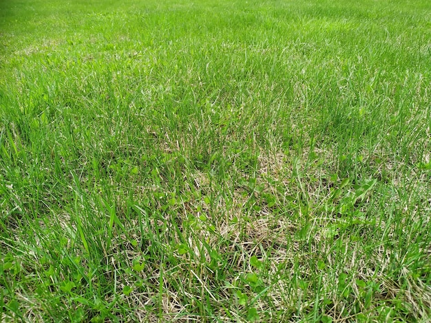 A textura da grama verde pode ser usada como plano de fundo. gramado verde