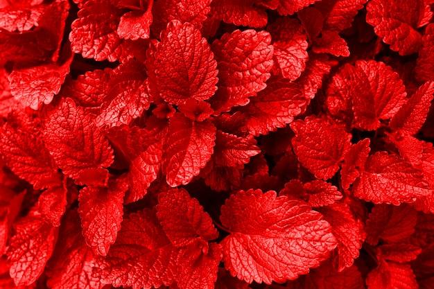 A textura das folhas vermelhas fecha-se acima. dia ensolarado isolado.