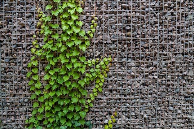 A textura de uma parede com pequenas pedras e trepadeira com folhas verdes escuras.