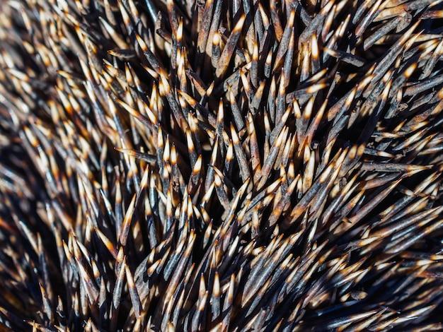 A textura do conjunto de agulhas ouriço closeup