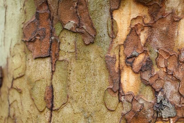 A textura do sycamore da casca de árvore.