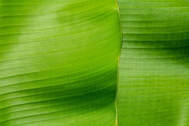 A textura e o detalhe de uma banana verde saem na floresta tropical.