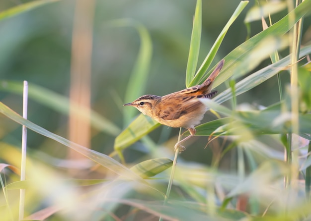 A toutinegra (acrocephalus schoenobaenus) é fotografada em close-up em um canavial na luz suave da manhã. a identificação de pássaros é possível.