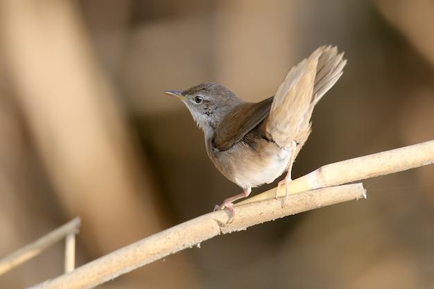 A toutinegra de savi (locustella luscinioides) em plumagem de inverno é filmada de perto em habitat natural em várias poses incomuns. a identificação é fácil.