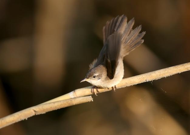A toutinegra de savi (locustella luscinioides) em plumagem de inverno é filmada de perto em um habitat natural em várias poses incomuns. a identificação é fácil.