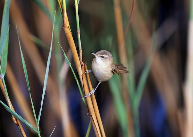 A toutinegra do arrozal (acrocephalus agricola) é fotografada de perto. a luz suave da manhã acentua os detalhes da plumagem e do hábito do pássaro