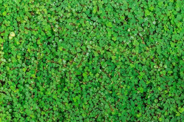 A trepadeira de folha redonda verde bai tang rian é uma planta trepadeira no solo