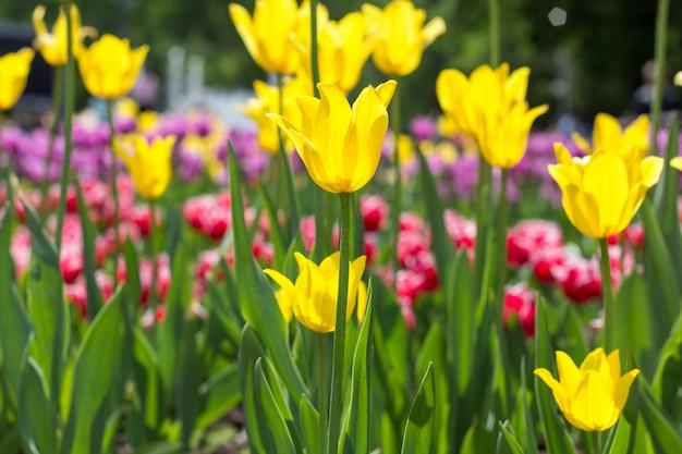 A tulipa colorida floresce em um canteiro de flores no parque da cidade.