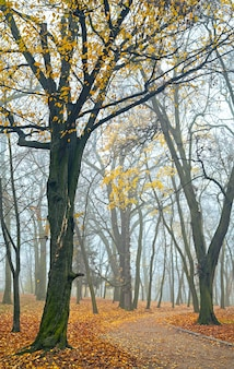 A última árvore dourada folheia no nebuloso parque urbano de outono (lviv, ucrânia)