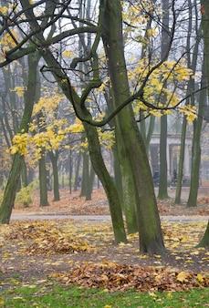 A última folhagem dourada da árvore, o caminho de pedestres e as folhas caindo no nebuloso parque da cidade de outono