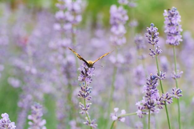A urticária de borboleta fica em uma flor de lavanda em um campo.