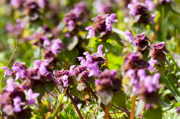 A urtiga floresce na primavera