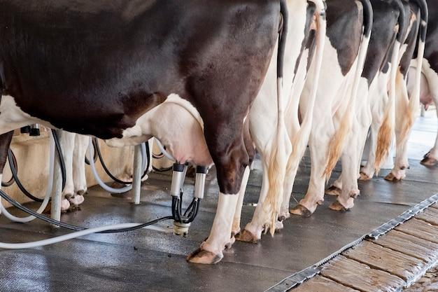 A vaca dá muito leite