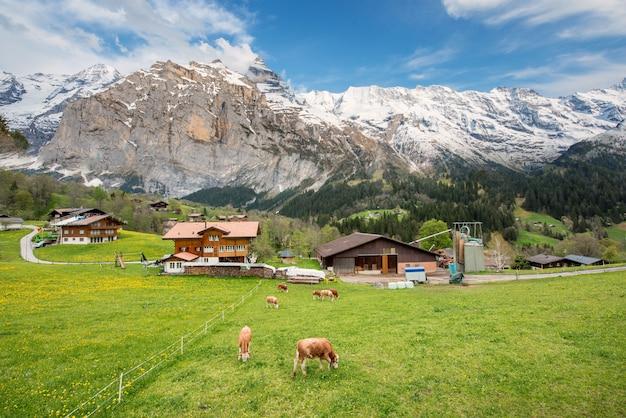 A vaca e a casa da quinta com alpes suíços nevam a montanha no fundo em grindelwald, suíça.