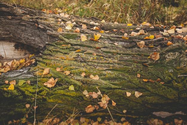 A velha árvore caída está coberta de musgo e folhas amarelas.