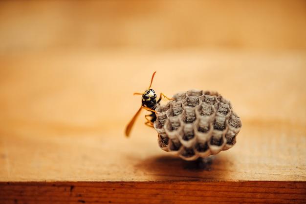 A vespa pequena protege seus favos de mel no macro.