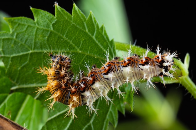 A vírgula lagarta (polygonia c album) se alimentando de uma urtiga