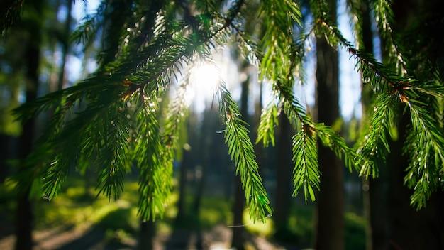 A visão do sol trazendo os ramos de abeto