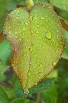 A vista do close-up da folha de rosa com água cai no mato em um dia ensolarado de verão. profundidade superficial de campo.