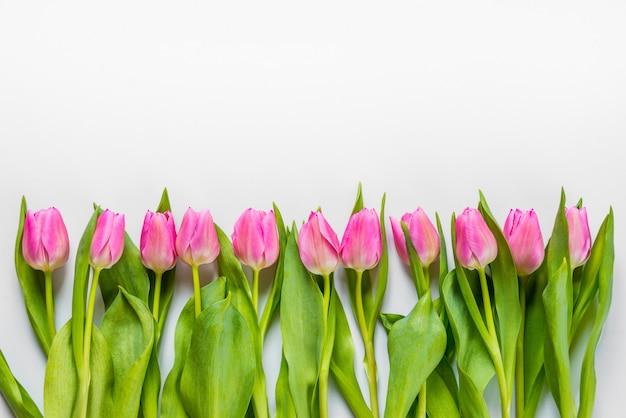 A vista superior de tulipas cor-de-rosa arranjou na linha no fundo branco. copie o espaço.