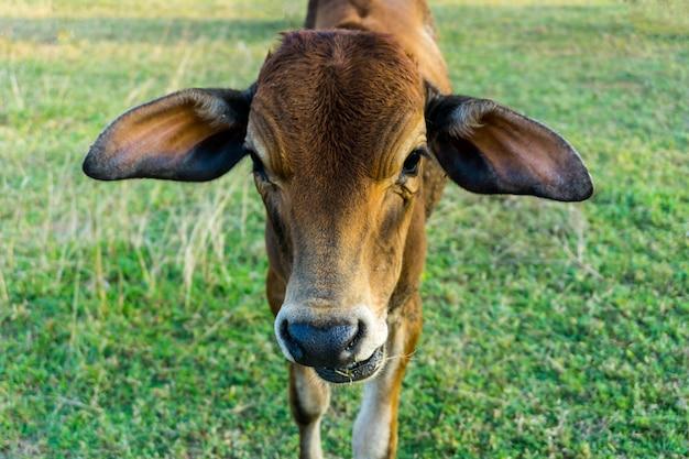 A vitela marrom da vaca no campo.