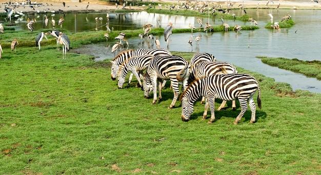 A zebra está comendo a grama e os pelicanos pescam no poço, representa a coexistência ecológica