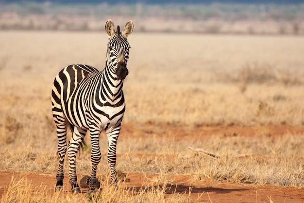 A zebra está de pé na savana, no safari no quênia, tsavo