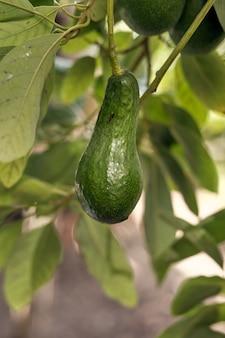 Abacate crescendo em um jardim verde