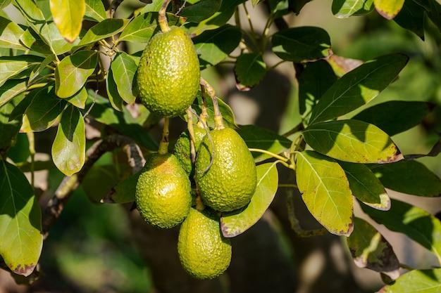 Abacate crescendo na árvore